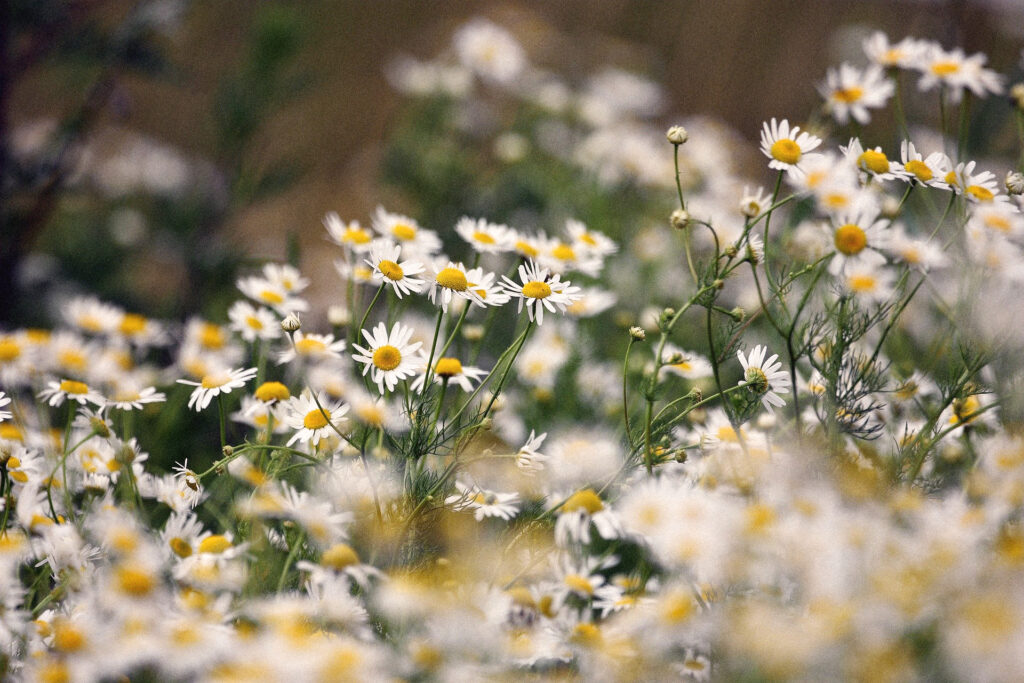 Eine Wiese voller blühender Kamille-Pflanzen