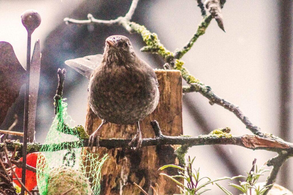 Vogelzählung des Nabu