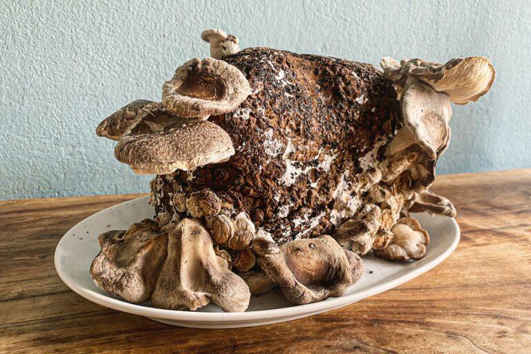 Eine Pilzzucht-Box steht auf dem Teller,