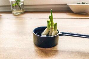 Regrowing mit einer Lauchzwiebel