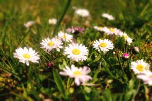 Gänseblümchen aus der Nähe - Kräuter im April