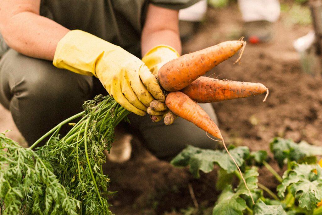 Eine Frau hält frische Karotten