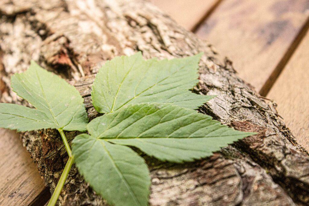 Die Blätter des Giersch