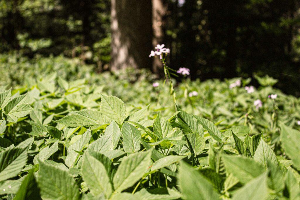 Giersch-Feld im Wald