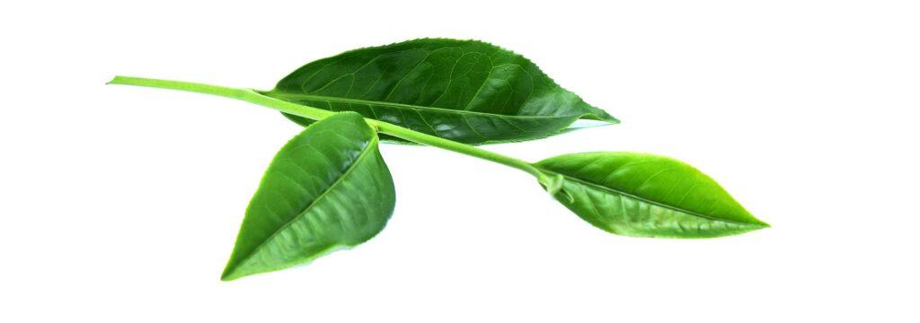 Teebaum-Blatt