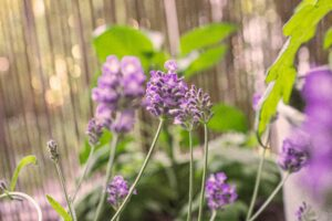 Ein Strauch Lavendel auf dem Balkon