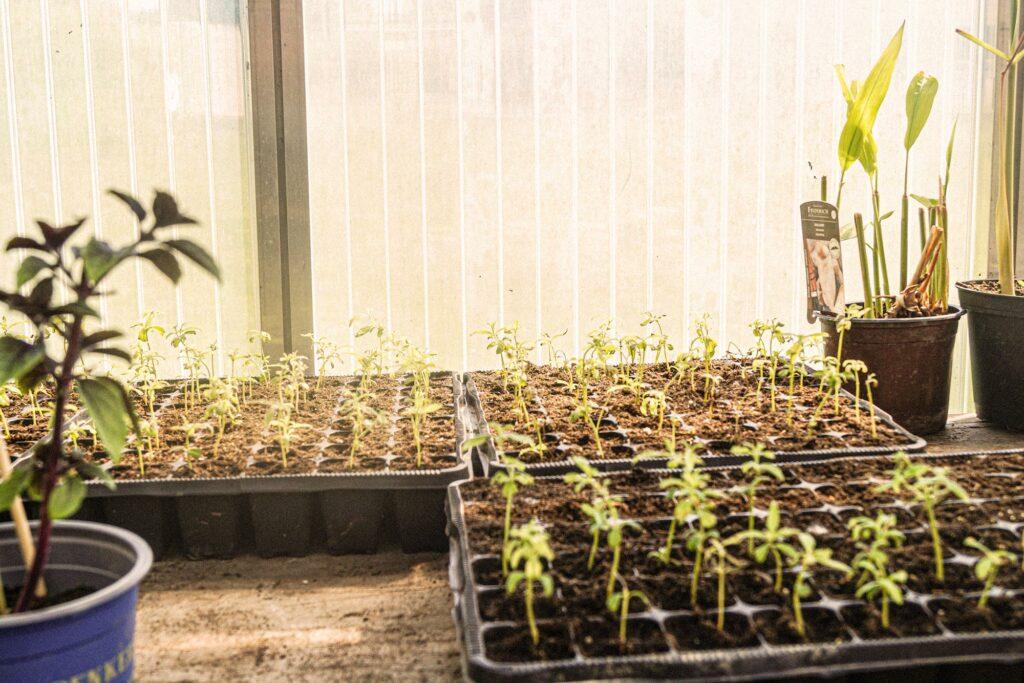 Jungpflanzen in Bioerde eingepflanzt