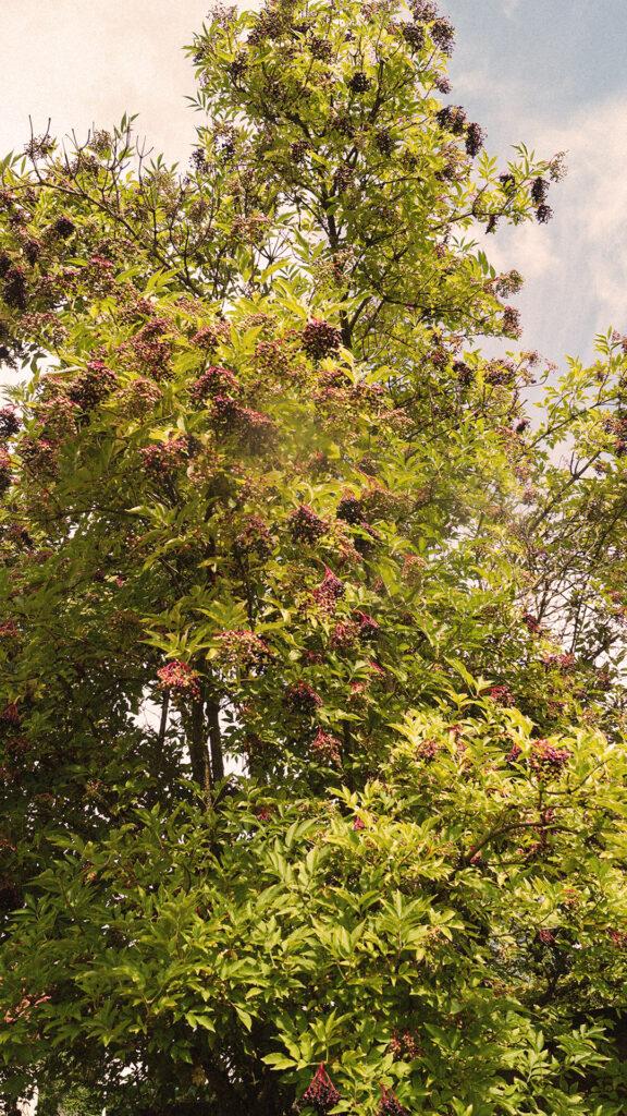 Über 15 Meter hoher Holunderbeerbaum